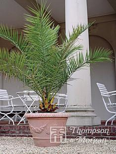 thompson-morgan-phoenix-palm-2-x-3-litre-pots