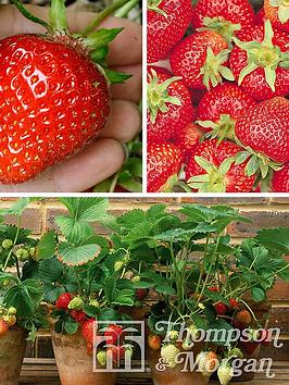 thompson-morgan-fruit-strawberry-collection-full-season-12-x-strawberry-runners