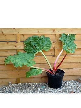 thompson-morgan-rhubarb-thompsons-terrifically-tasty-2-budded-pieces