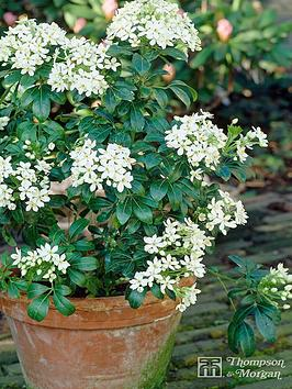 thompson-morgan-choisya-ternata-mexican-orange-blossom-35-litre-pot-x-1