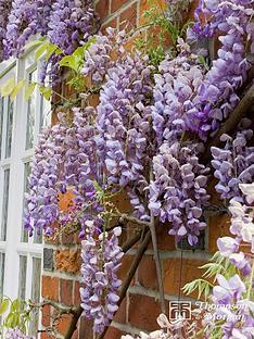 thompson-morgan-wisteria-sinensis-prolific-2-litre-pot-x-1