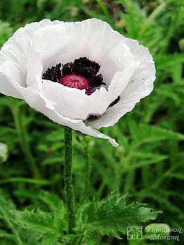 thompson-morgan-poppy-orientale-royal-wedding-8-cm-pot-x-1