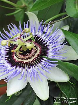 thompson-morgan-passiflora-caerulea-2-litre-pot-x-1