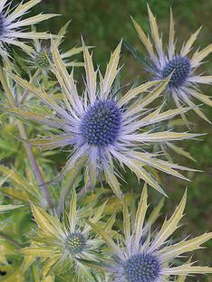 thompson-morgan-eryngium-039neptune039s-gold039-2-x-9cm-potted-plants