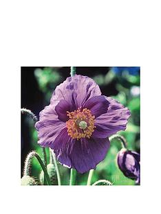 thompson-morgan-meconopsis-039hensol-violet039-2-x-9cm-potted-plants-free-gift-with-purchase