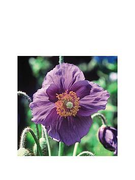 thompson-morgan-meconopsis-039hensol-violet039-2-x-9cm-potted-plants