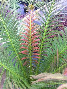 thompson-morgan-blechnum-039volcano039-2-x-9cm-potted-plants