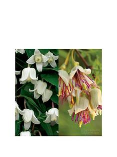 thompson-morgan-winter-clematis-collection-2-x-potted-plants
