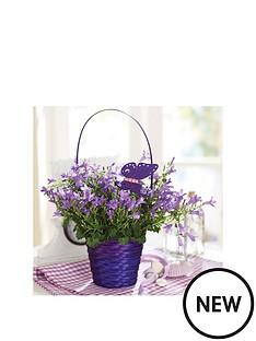 thompson-morgan-campanula-039blue-ocean039-basket-gift