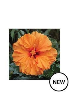 thompson-morgan-hibiscus-039la-luna039-in-12cm-pot-gift
