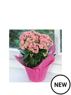 thompson-morgan-kalanchoe-039african-june039-in-105cm-pot-gift