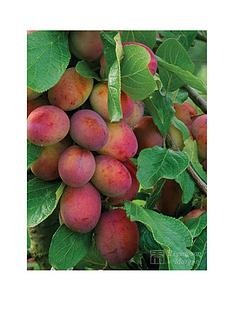 thompson-morgan-plum-039victoria039-1x-maiden-tree-45-litre-potted-tree-free-gift-with-purchase