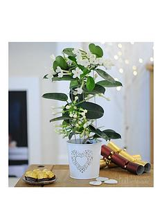 thompson-morgan-stephanotis-tower-in-pot
