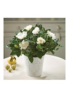 thompson-morgan-gardenia-snowball-in-pot