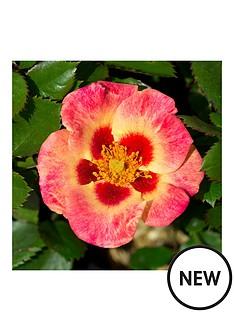 thompson-morgan-rose-039sweet-spot-calypso039-3x-9cm-potted-plants