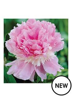 thompson-morgan-paeonia-039eden039s-perfume039-1x-bare-root-peony-plant