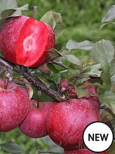 thompson-morgan-apple-039baya-marisa039-1x-9cm-potted-fruit-plant