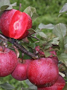 thompson-morgan-apple-baya-marisa-1-x-9cmnbsppot