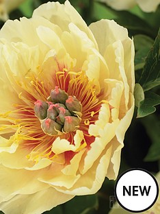 thompson-morgan-paeonia-039garden-treasure039-1x-bare-root-peony-plant