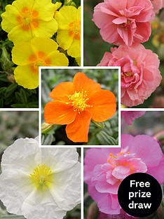 thompson-morgan-rock-rose-collection-helianthemum-5-ju