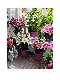 thompson-morgan-lily-romance-collection-pink-star-golden-modern-first-true-6-bulbs-1314-2-x-32cm-pot-pink-purple-incredicompost-100g-incredibloom