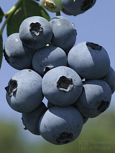 thompson-morgan-blueberry-brigitta-1-x-3-litre-plant