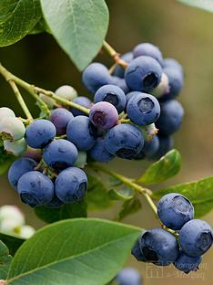 thompson-morgan-blueberry-earlibluenbsp--1-x-3-litre-plant