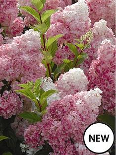 thompson-morgan-hydrangea-paniculata-vanilla-fraise