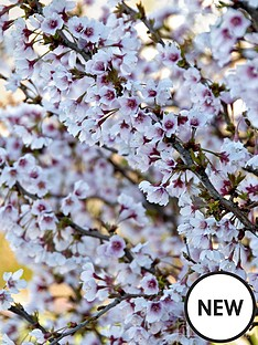 thompson-morgan-prunus-ornamental-cherry-fuji-cherry