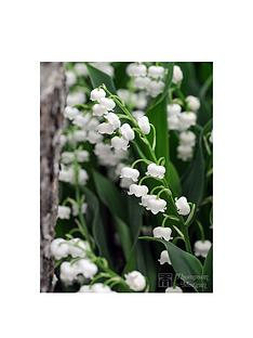 thompson-morgan-pp-lily-of-the-valley-convallaria-maja