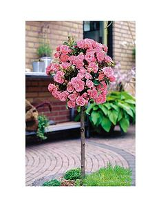 thompson-morgan-rose-standard-pink-1-bare-root