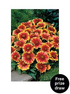 thompson-morgan-gaillardia-arizona-sun-30-garden-ready-p