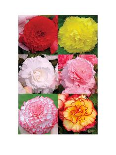 thompson-morgan-begonia-majestic-collection-pink-picotee-golden-picotee-pink-red-yellow-salmon-24-plugs