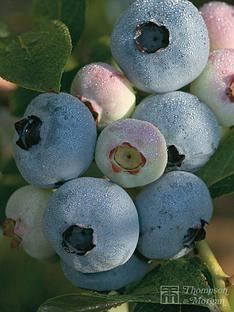 thompson-morgan-blueberry-chandler-1-x-3-litre-plant