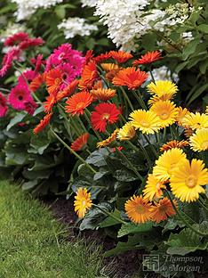 thompson-morgan-gerbera-sweet-collection-7cm-pot-x-3-1-each-of-sweet-dreams-glow-honey