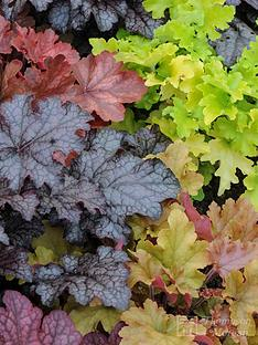 thompson-morgan-heuchera-patchwork-mix-5-postiplugs