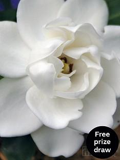 thompson-morgan-gardenia-crown-jewels-9cm-pot-x-1
