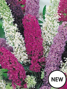thompson-morgan-buddleja-buzz-3-in-1-candy-pink-indigo