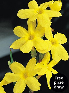 thompson-morgan-jasmine-yellow-summer-9cm-pot-x-2
