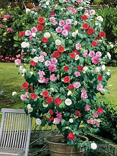 thompson-morgan-camellia-tricolour--nbsp15cm-pot