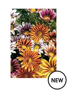 thompson-morgan-gazania-tiger-stripes-mixed-30-garden-ready-plants