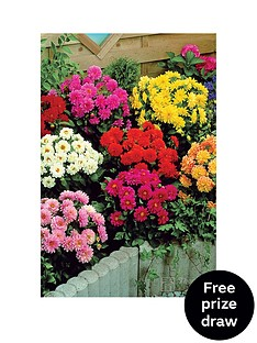 thompson-morgan-dahlia-figaro-30-garden-ready-plants