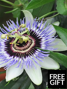thompson-morgan-passiflora-caerulea-2-litre-pot-x-1