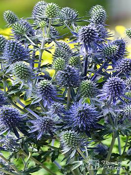 thompson-morgan-eryngium-planum-blue-little-hobbit-1-litre-pot