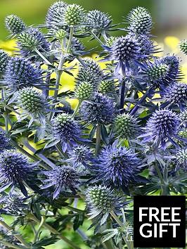 thompson-morgan-eryngium-planum-blue-little-hobbit-1-litre-pot