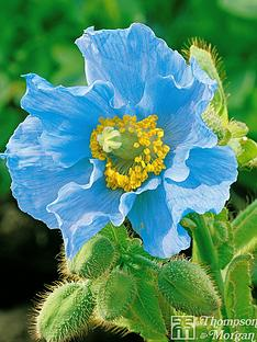 thompson-morgan-meconopsis-blue-poppy-4-jumbo-plugs