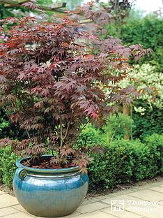 thompson-morgan-acer-palmatum-35-litre-pot