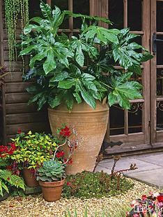 thompson-morgan-fatsia-japonica-1-x-35-litre-pot