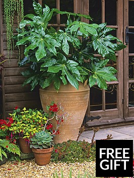 thompson-morgan-fatsia-japonica-25-litre-pot