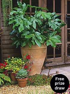 thompson-morgan-fatsia-japonica-35-litre-pot-x-1
